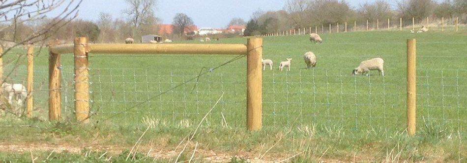 Stock Fencing Sheep